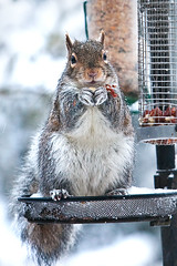Snowy squirrel (juliereynoldsphotography) Tags: snow woods december halewood