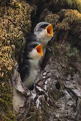 Tree Swallows Ridgefield National Wildlife Refuge (jeremyjonkman) Tags: baby tree bird canon photography eos washington mark wildlife jeremy national ii 5d swallow swallows refuge ridgefield jonkman