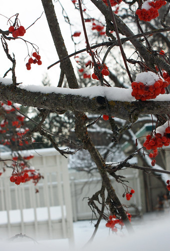 Mountain ash branches with snow