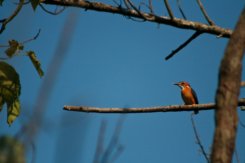 Day 48: Pygmy Kingfisher