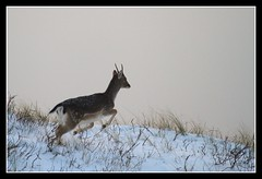 On the run (Judith Nicolai) Tags: winter snow dunes sneeuw fallowdeer zandvoort awd 2010 damhert amsterdamsewaterleidingduinen goldwildlife