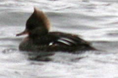 ducks 110
