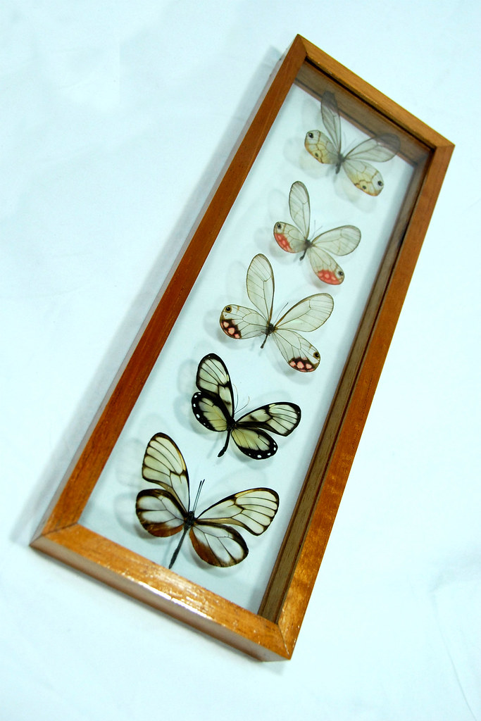 After Christmas Sale Mounted Glasswing Butterfly Frame Sets
