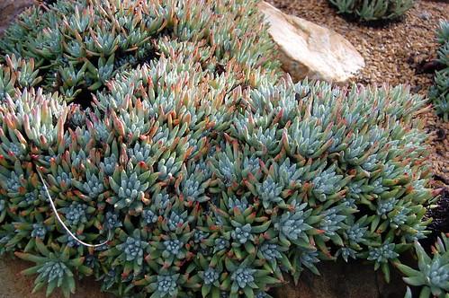 Catalina Island Live-forever - Dudleya virens ssp. hassei