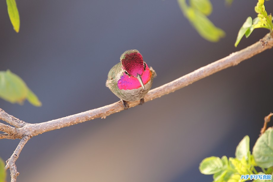 Anna's Hummingbird 122710-2
