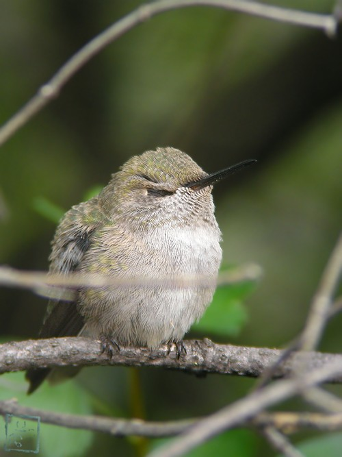 Anna's Hummingbird nest 0222101-6