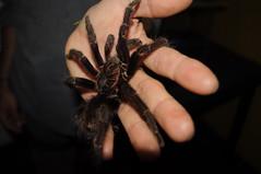 Aracnofobia (AlejoBeta.) Tags: animal hair spider hand mano araña