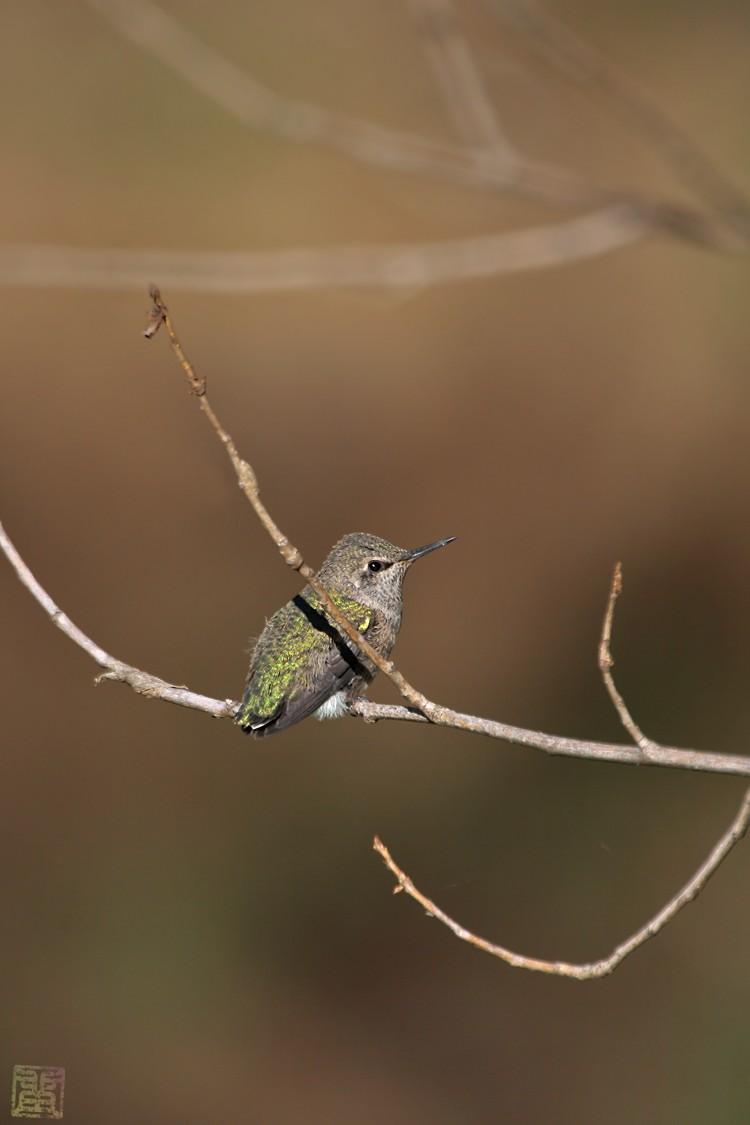 Anna's Hummingbird nest 0222101