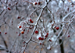 / Frozen berries (Enusi) Tags: trees winter frozen december berries russia moscow newyear icerain
