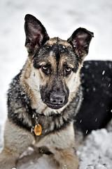 [フリー画像] 動物, 哺乳類, イヌ科, 犬・イヌ, ジャーマン・シェパード・ドッグ, 201101091100