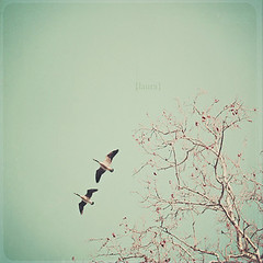 Two Geese Migrating (Laura L. Ruth) Tags: blue two sky tree bird texture film leaves canon vintage square photography 50mm fly geese sweet pastel front goose lovers retro explore together page romantic dreamy simple birchwood tranquil gettyimages creamy migrating fauxvintage headingsouth project365 explorefrontpage llruth lauralruth