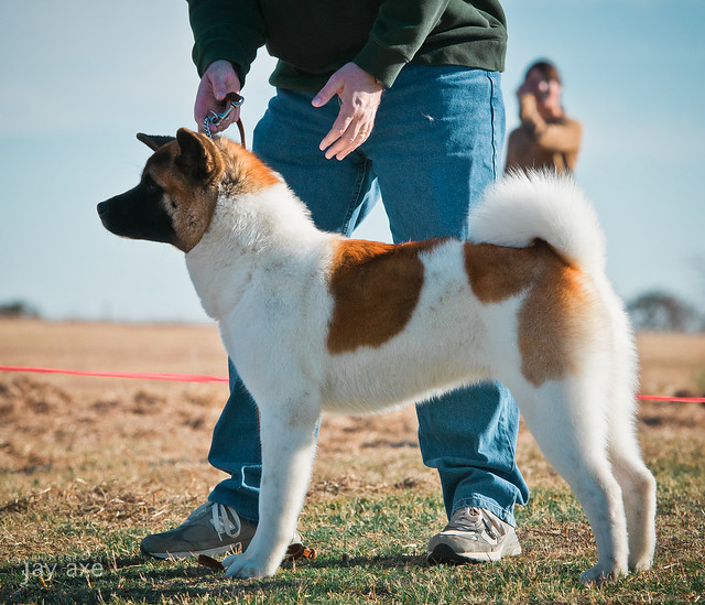 Akitas: American vs. Japanese « Jay Axe's Photo Blog