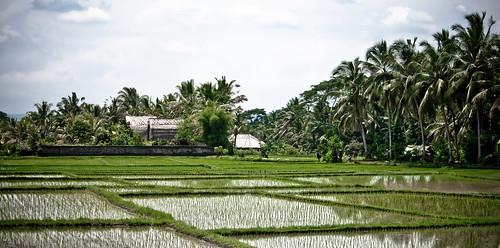 rice paddies-5