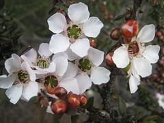 Tea Tree IMG_2574 (MargaretDonald) Tags: teatree myrtaceae leptospermum barranjoey leptospermumsquarrosum