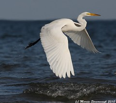 Take off (v4vodka) Tags: morning white bird animal sunrise wildlife birding flight egret birdwatching greategret shorebird ardeaalba egretta flyingegret czaplabiala czala