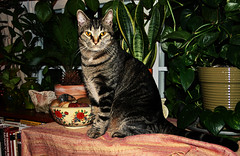 (King) George of the Jungle (faith goble) Tags: plants pet art night scarf cat evening vines friend rocks king artist photographer kentucky ky faith silk indoor books bowl cc pots master watergarden whisker creativecommons poet stare vase shorthair meow writer sultan demanding oriental cycad bowlinggreen striped throw pest spoiled yelloweyes pasha pothos aristocrat sanseveria goble firsthand gographix faithgobleart thisisky