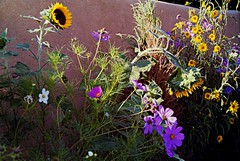 PICT1066 (Emily Taliaferro Prince) Tags: flowers summer newmexico flower color wall spring lavender adobe sunflower cosmos