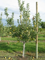 support for apple trees on dwarfing rootstocks extension