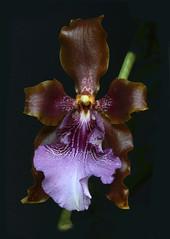 odontoglossum wyattianum 366 Fd (Guido Deburghgraeve) Tags: orchids species odontoglossum