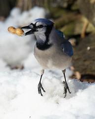 Yay Got A Peanut! (Angel Cher ♥) Tags: snow bird portraits photographer wildlife nj bluejay cher peanut newjerseyphotographer angelcher njphotographer angelcherswildlifephotography wildliefephotographernj njwildlifephotographer angelcherphotoshelter