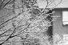Snow covered (daniellih) Tags: seattle winter light bw white snow plant black blur tree ice uw weather night contrast hall washington blurry nikon university branch dof branches january flake mercer cover covered snowing   2011 d90    daniellih