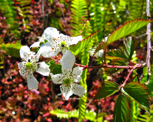 Sawtooth Blackberry blossoms