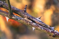 Spine di pianta selvatiche (Eleonora Cacciari) Tags: spinedipiantaselvatiche pianta spine spina eos1200d eleonoracacciari ecacciari reflex canon canoneos1200d canonefs18135mmf3556isstm natura nature barberino allaperto selvatico