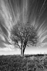 the smoking tree (lindner.photography) Tags: altmhltal eichsttt tree baum lonely einsam schwarzweis blackandwhite clouds wolken dramatic dramatisch autumn herbst nikond5300 sigma1020mm movement bewegung dynamic dynamisch