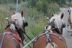 Healy AK ~ Covered Wagon excursion - HBW! (karma (Karen)) Tags: healy alaska horses coveredwagonexcursion dof bokeh hbw belgians