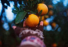 A gift from the mother Earth. (Hijo de la Tierra.) Tags: film analog 35mm analogue old vintage orange nature hand winter uruguay countryside grove bokeh grain fujifilm