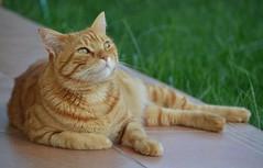 Zarpazos (En memoria de Zarpazos, mi valiente y mimoso tigre) Tags: zarpazos gattuso gato pelirrojo dep cat gattoarancione ginger orangetabby gatofeliz gatolibre gatto rosso gatoatigradonaranja cc100 gatopelirrojo gattorosso