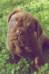 Frank (Elka photography) Tags: dog puppy doguedebordeaux blueeyes cute