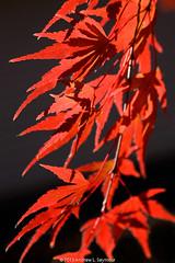 Maple Japanese 101112.051
