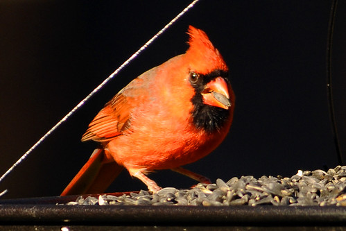 cardinal sunflower seed