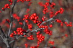 as the seasons change, bounty (christiaan_25) Tags: life autumn winter red cold fall dark berries seasons vibrant harvest holly change shrub deciduous transition plenty bounty ilexverticillata americanwinterberry