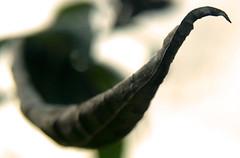Twizel (George Peck) Tags: autumn winter cold macro nature leaves season wonder dof natural bokeh seasonal olympus veins portfolio zuiko pods depthoffeild dtail 1442mm hairygit