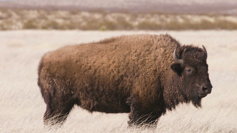 Wildlife: Bison at US-Mexico wall