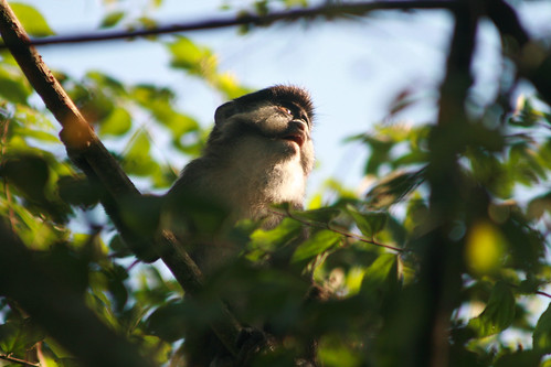 Day 41: Red tailed Monkey