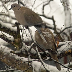 Collared Doves in snowy branches