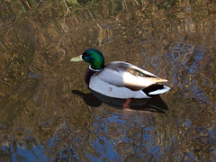 A Duck (gendou2) Tags: california santa duck lagoon cruz mallard neary