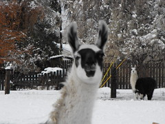 snow llamas (queen's dragon) Tags: winter snow cold views snowpics
