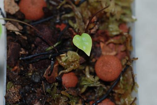 Utricularia geminiloba