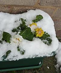 FLEUR ENNEIGEE (Julie70 Joyoflife) Tags: winter snow london photo hiver snowing neige icy 2010 flocons aroundme iarna tél ninge juliekertesz ilneige