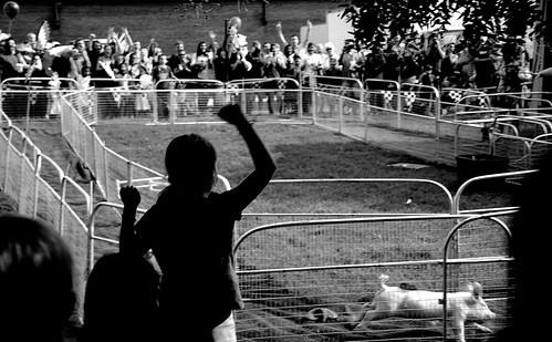 pig racing.