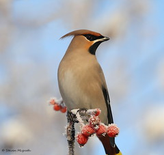 Waxwing (Glesgastef) Tags: city uk winter wild urban snow bird birds canon eos scotland berry europe frost glasgow wildlife sigma apo guide takeoff bohemian waxwing dg scandanavia 400mm bombycillagarrulus 1000d