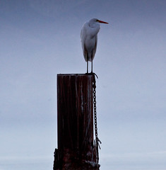 Egret and piling, Salton Sea (Robin Black Photography) Tags: california sunset water desert palmsprings telephoto saltlake northshore southerncalifornia piling egret goldenhour saltonsea birdsanctuary circularpolarizer zoomlens shorebird birdportrait endangeredhabitat landscapedetail alkalilake posingbird canon5dmarkii robinblackphotography