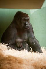 2010-12-11-09h54m17.272P2459 (A.J. Haverkamp) Tags: zoo rotterdam blijdorp aya gorilla dierentuin diergaardeblijdorp westelijkelaaglandgorilla canonef70200mmf28lisusmlens httpwwwdiergaardeblijdorpnl pobrotterdamthenetherlands dob27021995 dob05122010 ayba