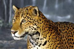 Jaguar (Eve'sNature) Tags: nature animals cat zoo feline wildlife milwaukee jaguar