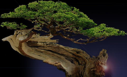 """Bonsai013 • <a style=""""font-size:0.8em;"""" href=""""http://www.flickr.com/photos/30735181@N00/5261345851/"""" target=""""_blank"""">View on Flickr</a>"""
