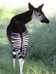 Okapi (Okapia johnstoni) (Derek Keats) Tags: okapi okapiajohnstoni taxonomy:binomial=okapiajohnstoni seenonflickr